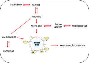 metabolismo fígado